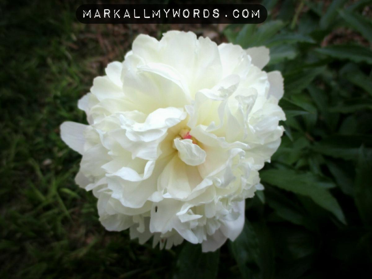 Peony (Paeonia spp.) flower