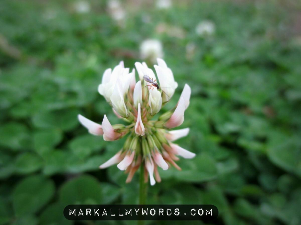 White clover (Trifolium repens) flower