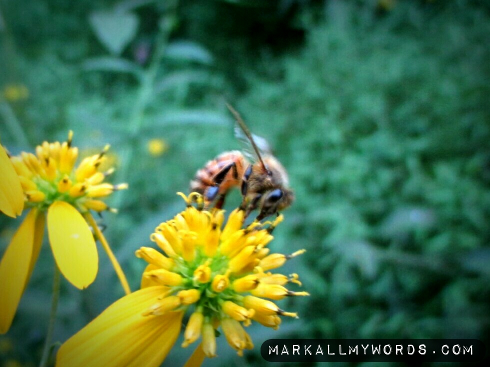 Honey bee pollinating a wildflower