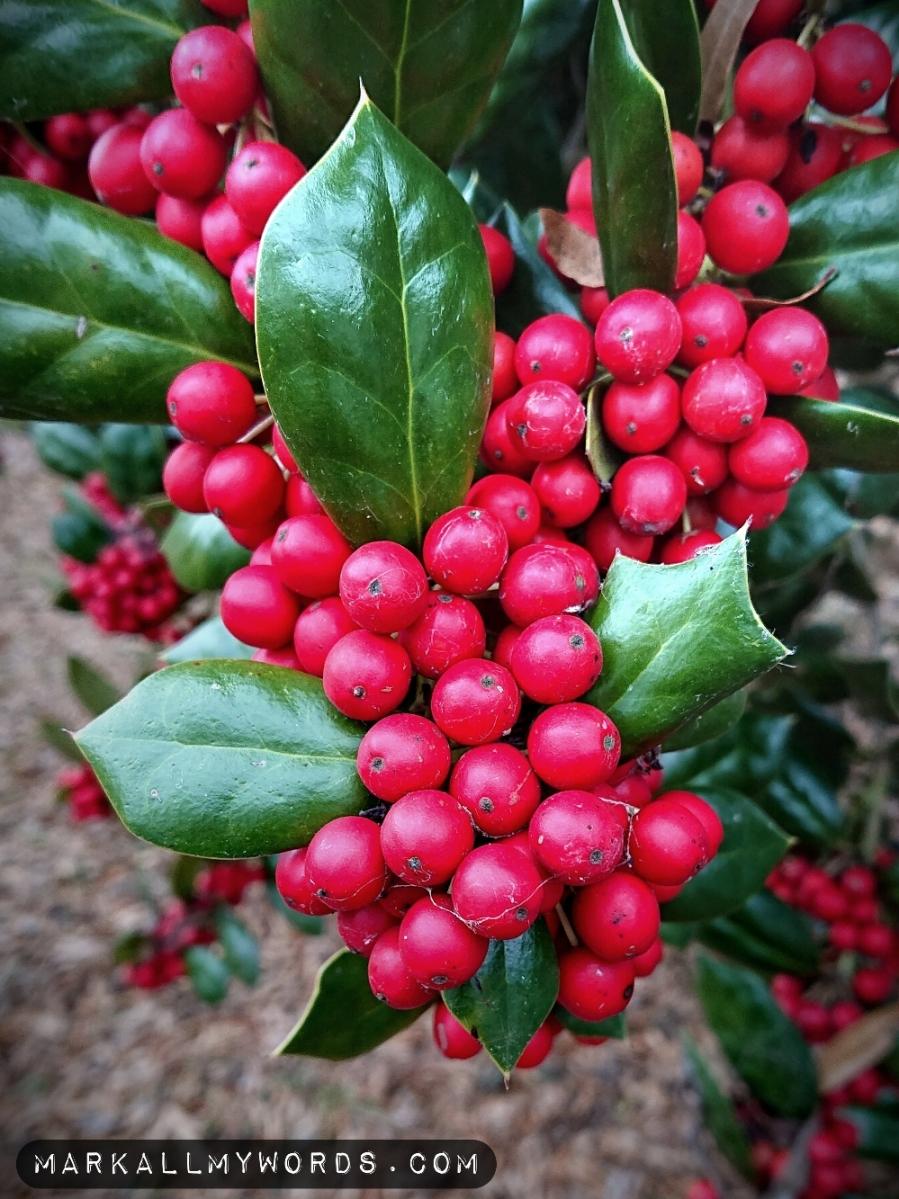 Chinese holly bush
