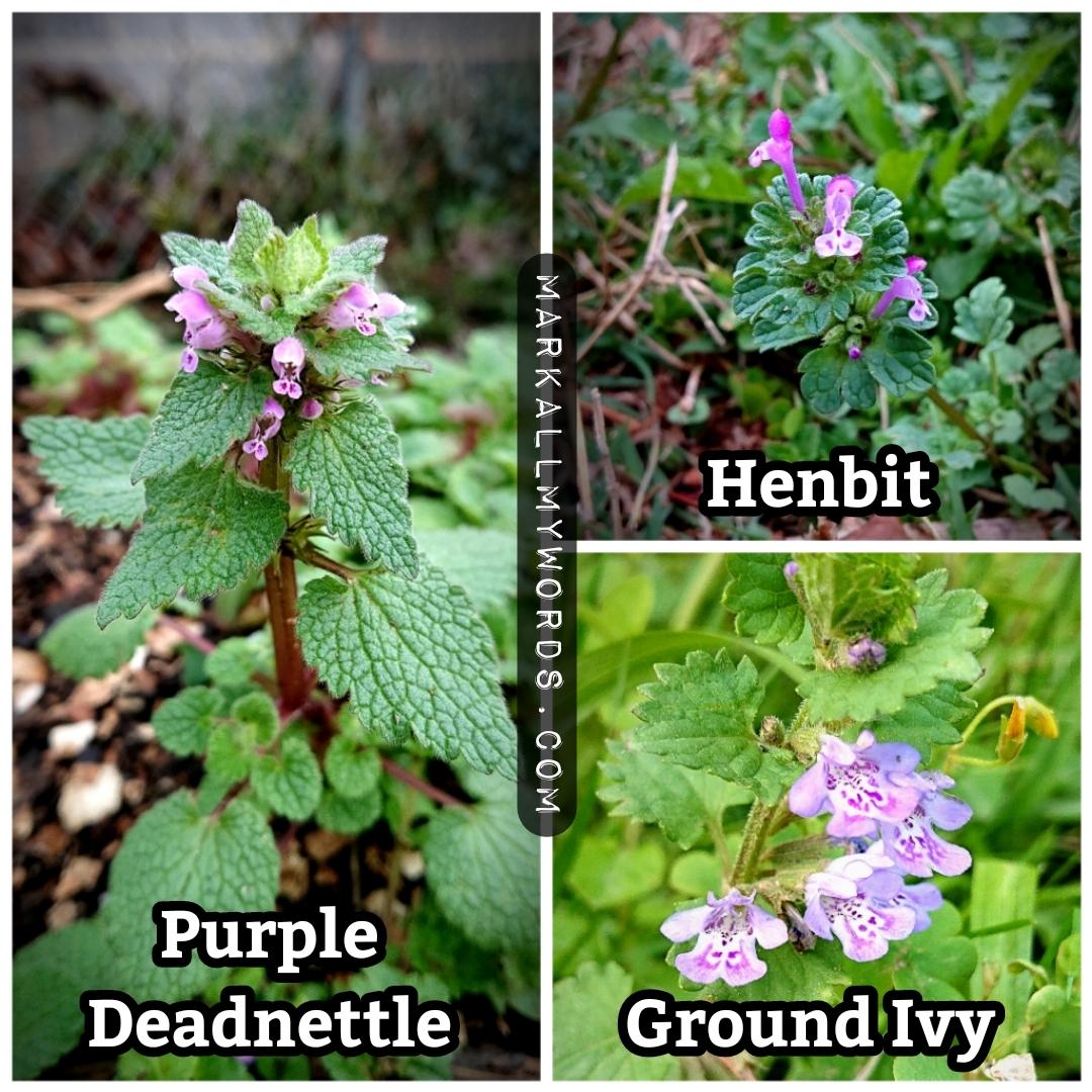 Comparison of purple deadnettle, henbit, and ground ivy