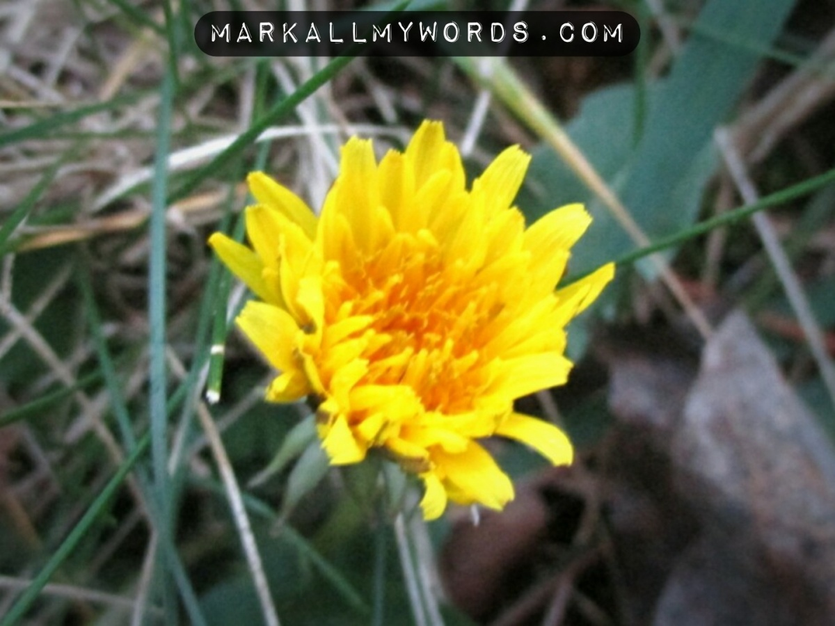 Dandelion (Taraxacum officinale) flower
