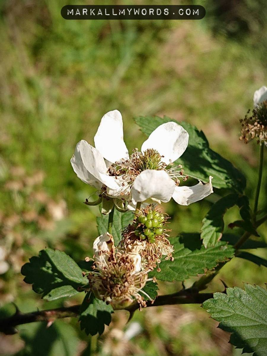 Wild blackberry flower
