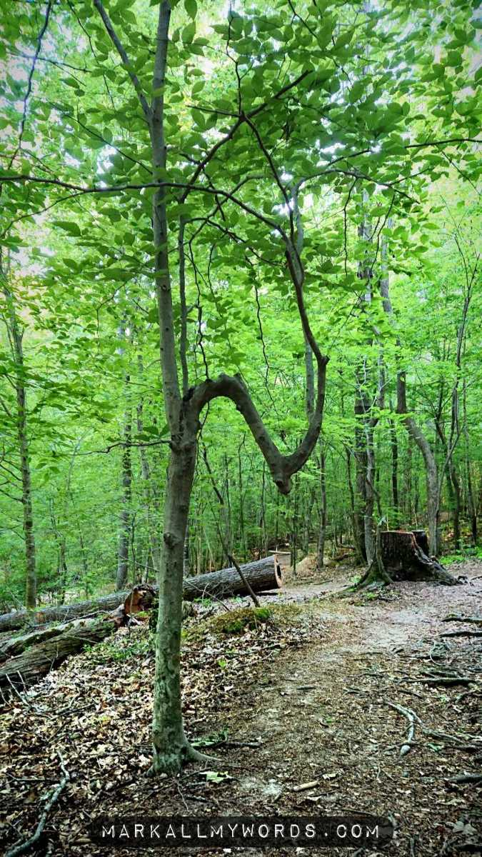 Young beech tree with gnarly trunk, shaped like half of an infinity symbol