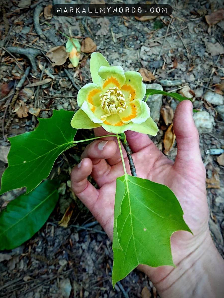 Tulip poplar flower with leaves