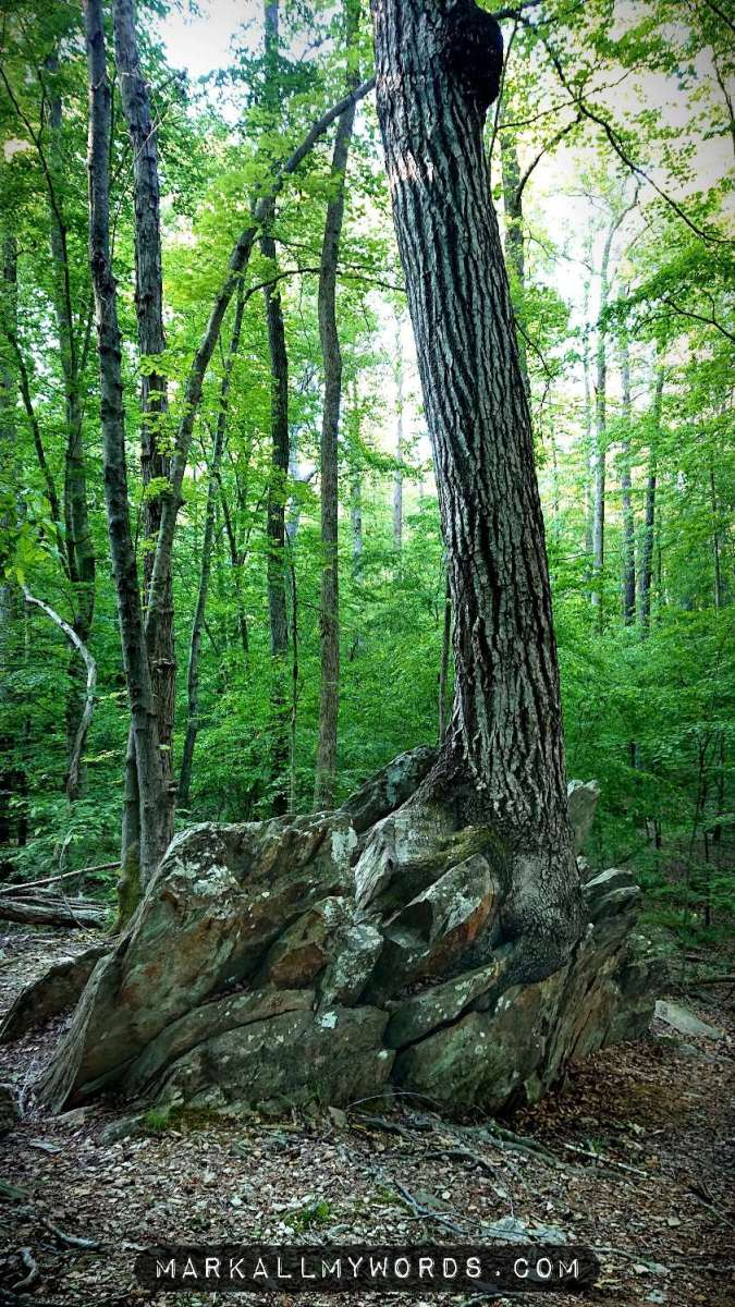 Oak tree growing out of rock outcropping