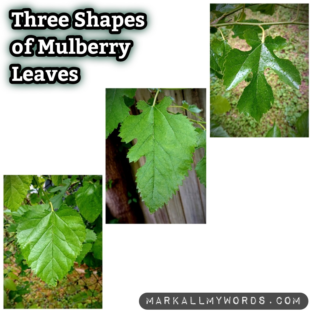Different shapes of mulberry leaves