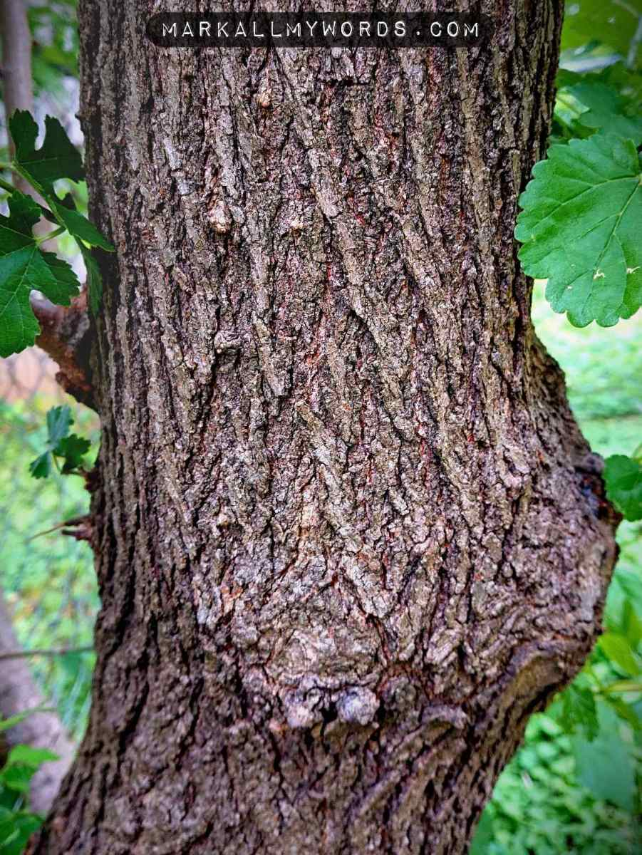 Mulberry tree bark with deep ridges