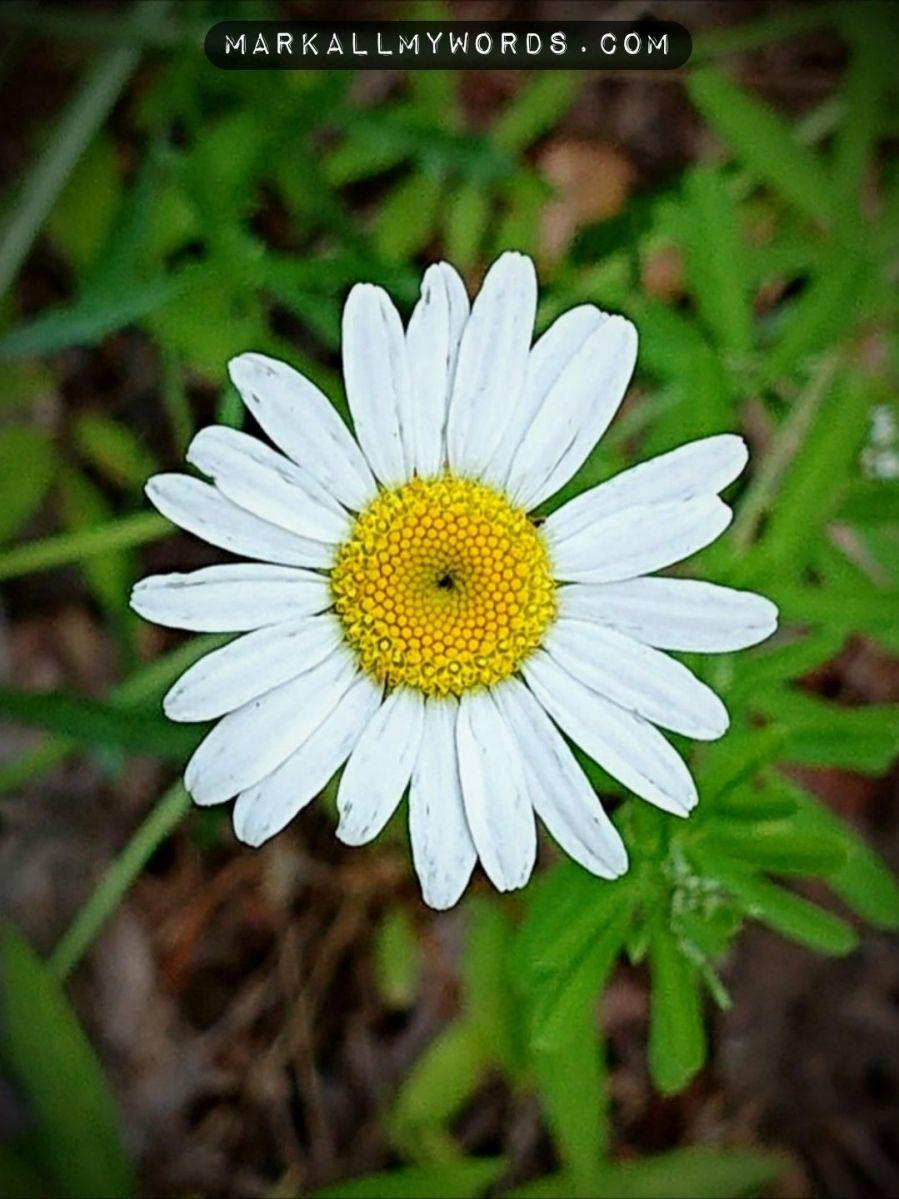 Oxeye daisy (Leucanthemum vulgare) flower