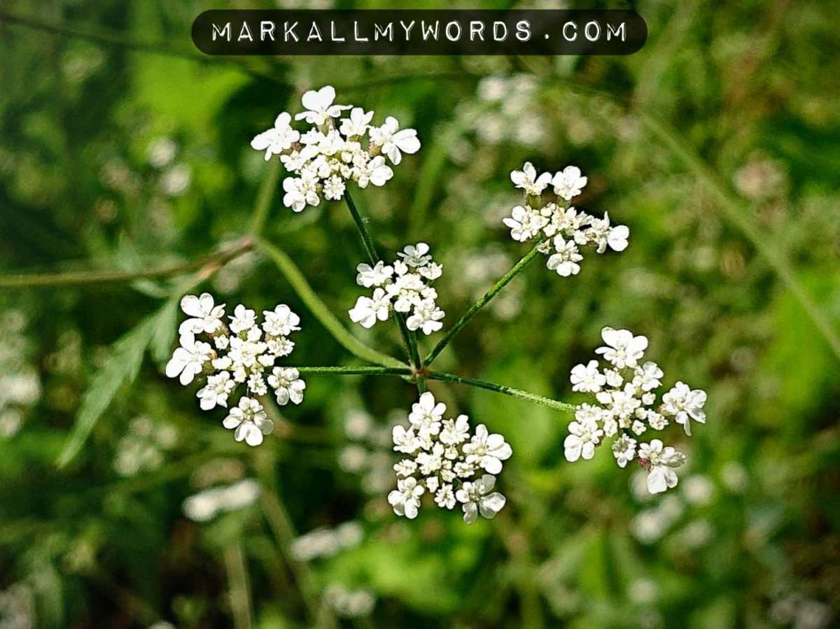 Common hedge parsley (Torilis arvensis) flower cluster