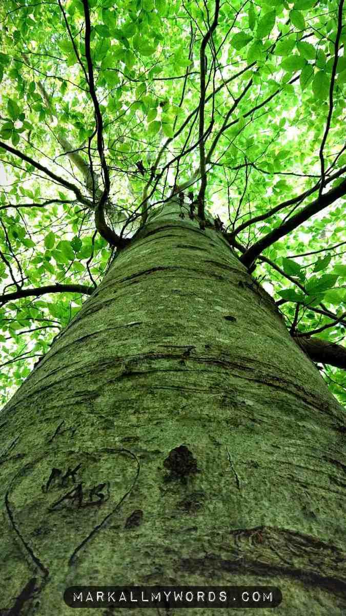 Looking up American beech tree