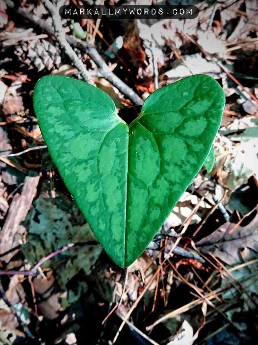 Little brown jug (Hexastylis arifolia) leaf