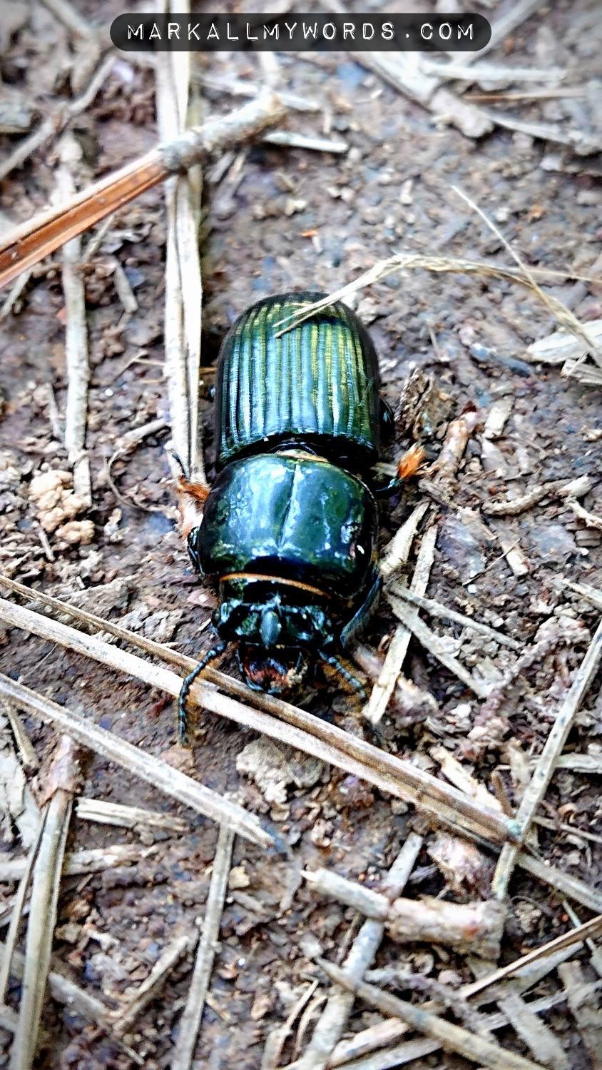 Horned passalus beetle (Odontotaenius disjunctus)