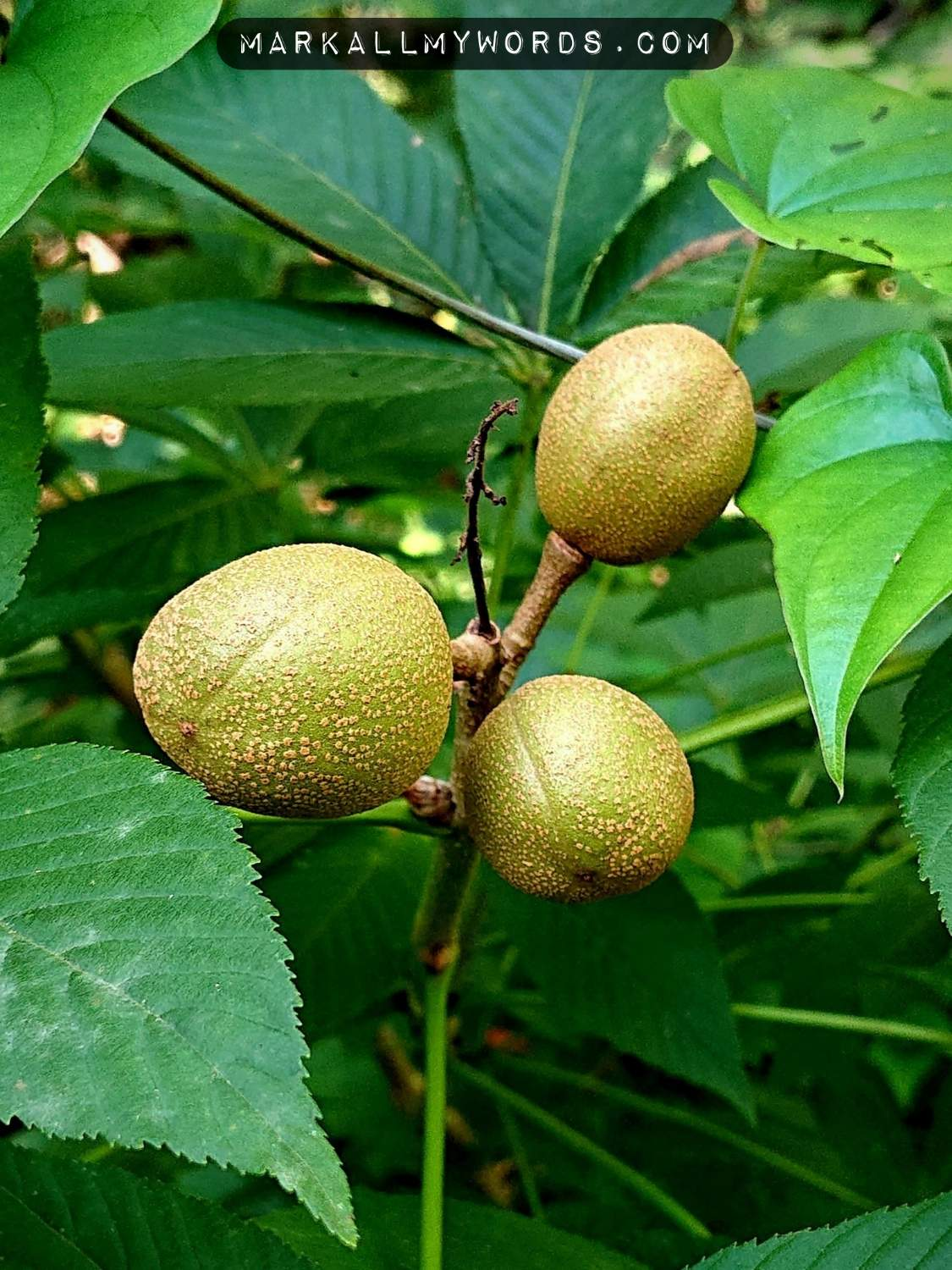 Buckeye fruits on branch in forest