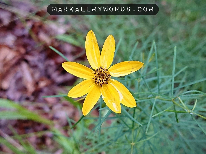 Threadleaf coreopsis (Coreopsis verticillata) flower
