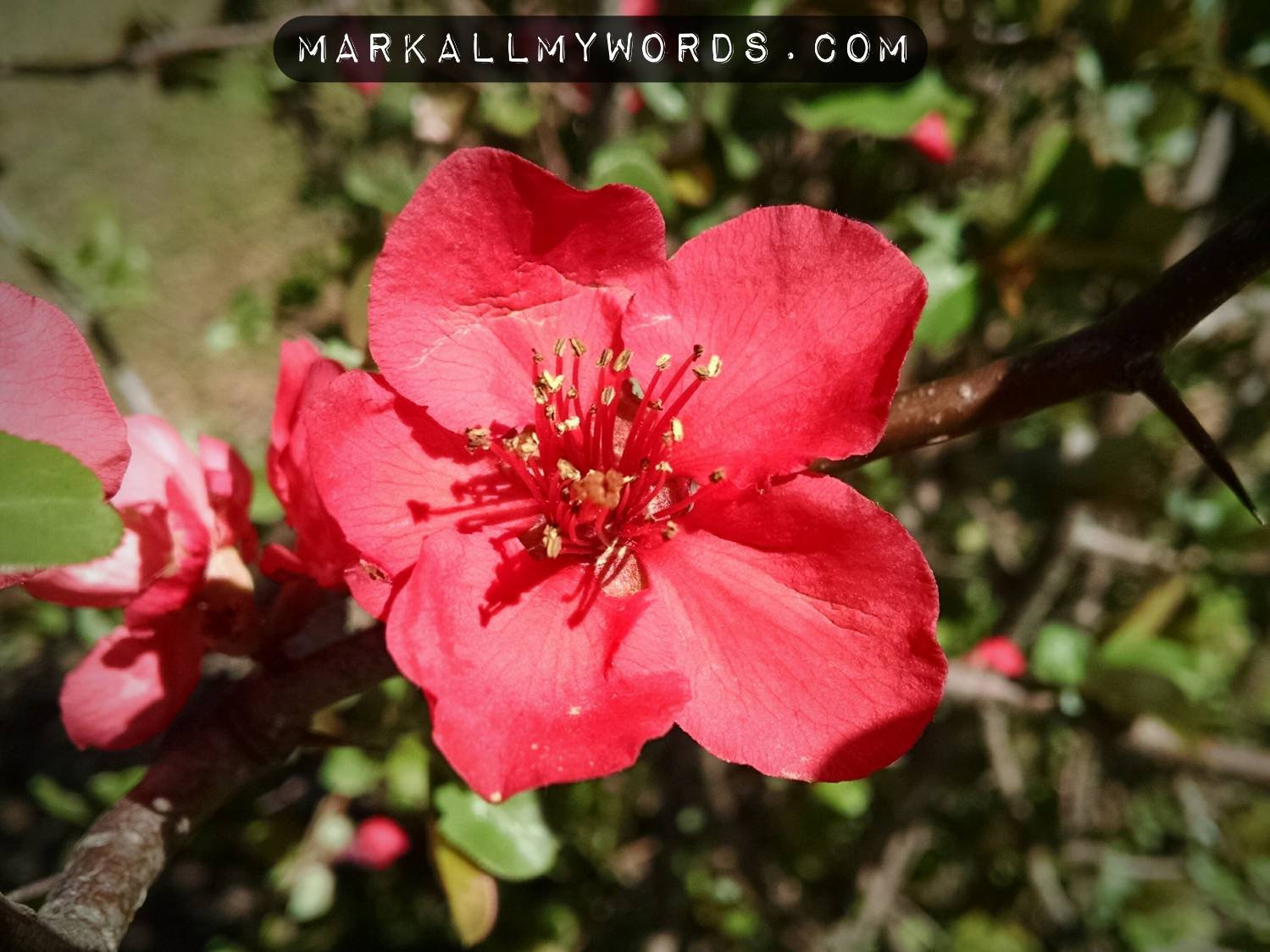 Flowering quince (Chaenomeles speciosa) flower