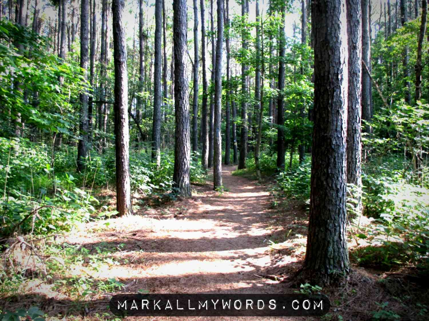 Laurel Bluffs Trail leading through a stand of pine trees