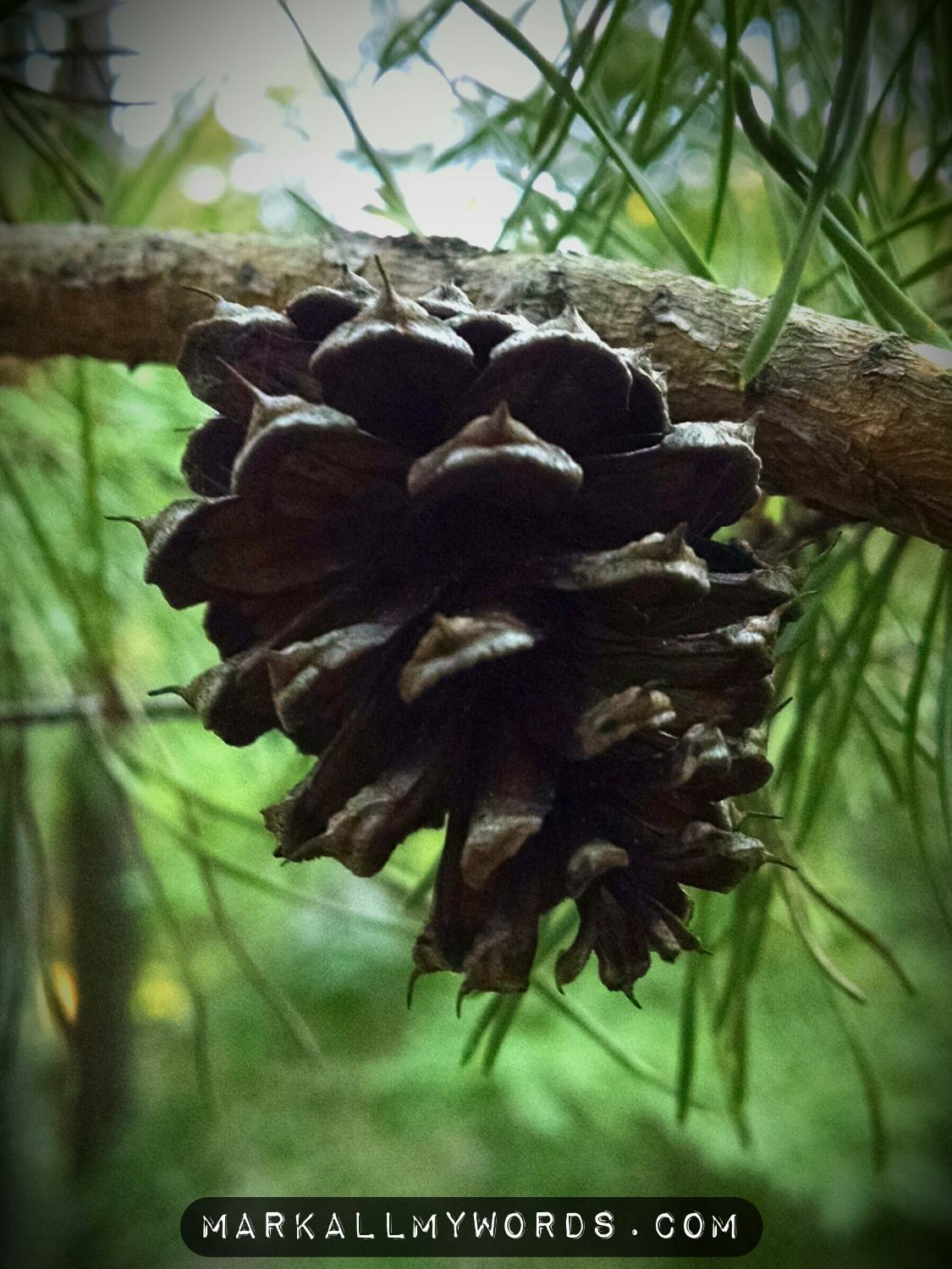 Loblolly pinecone
