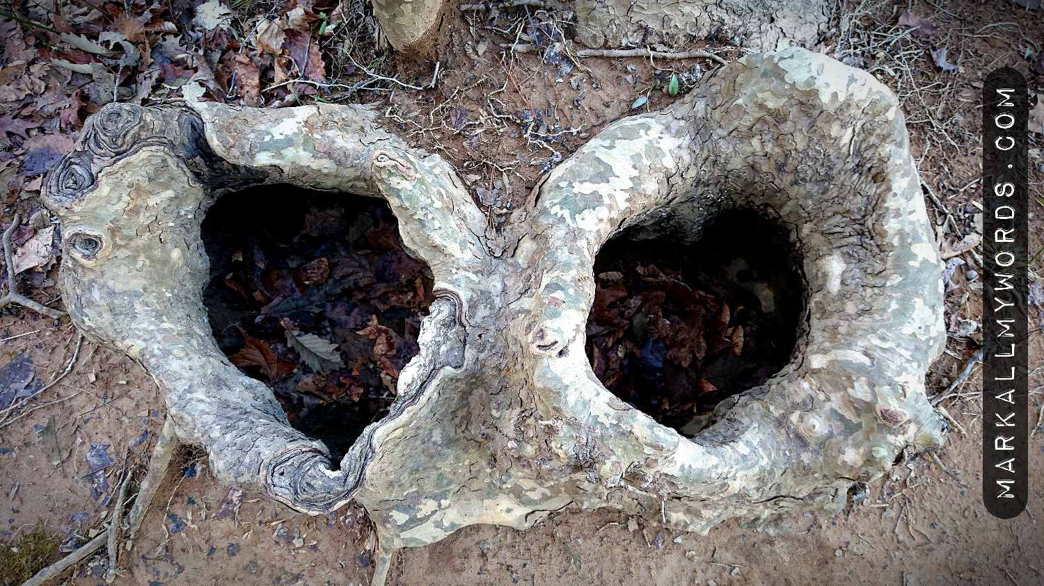 Cavities in American sycamore roots