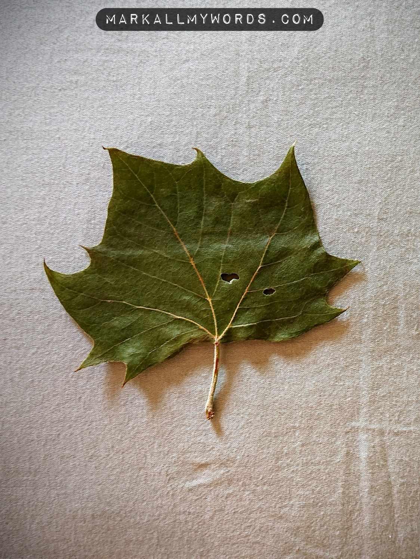 American sycamore leaf