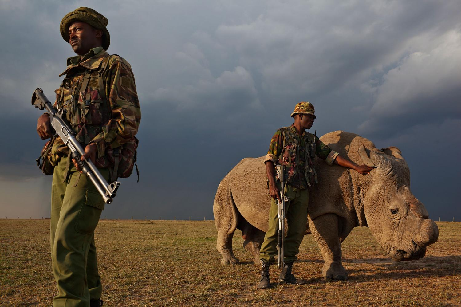 Northern white rhino with anti-poaching forces.