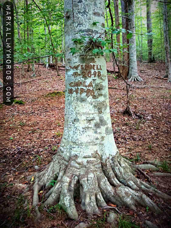 American beech tree near Bobbitt Hole