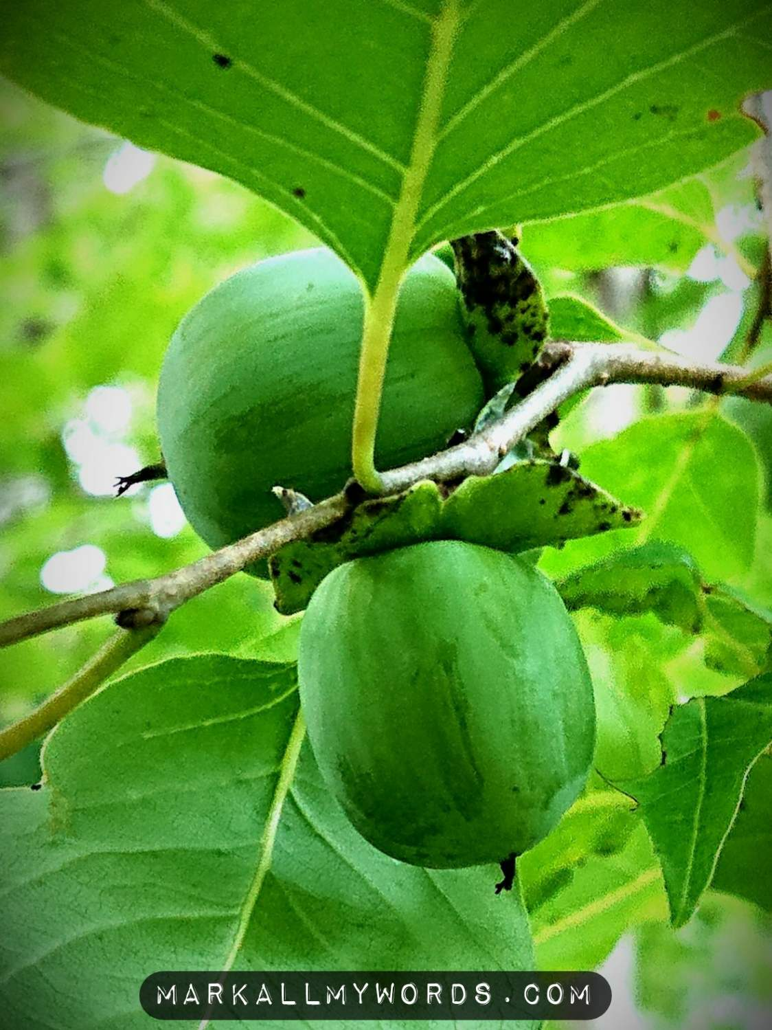 Unripe eastern persimmon fruit