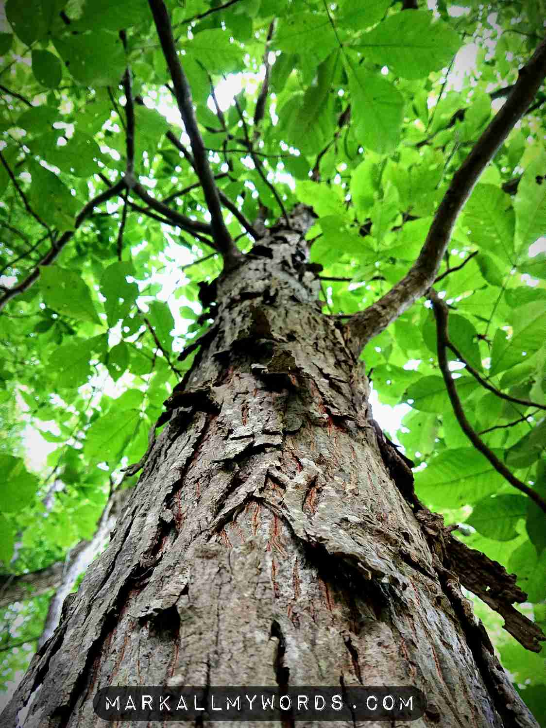Looking up a Shagbark hickory