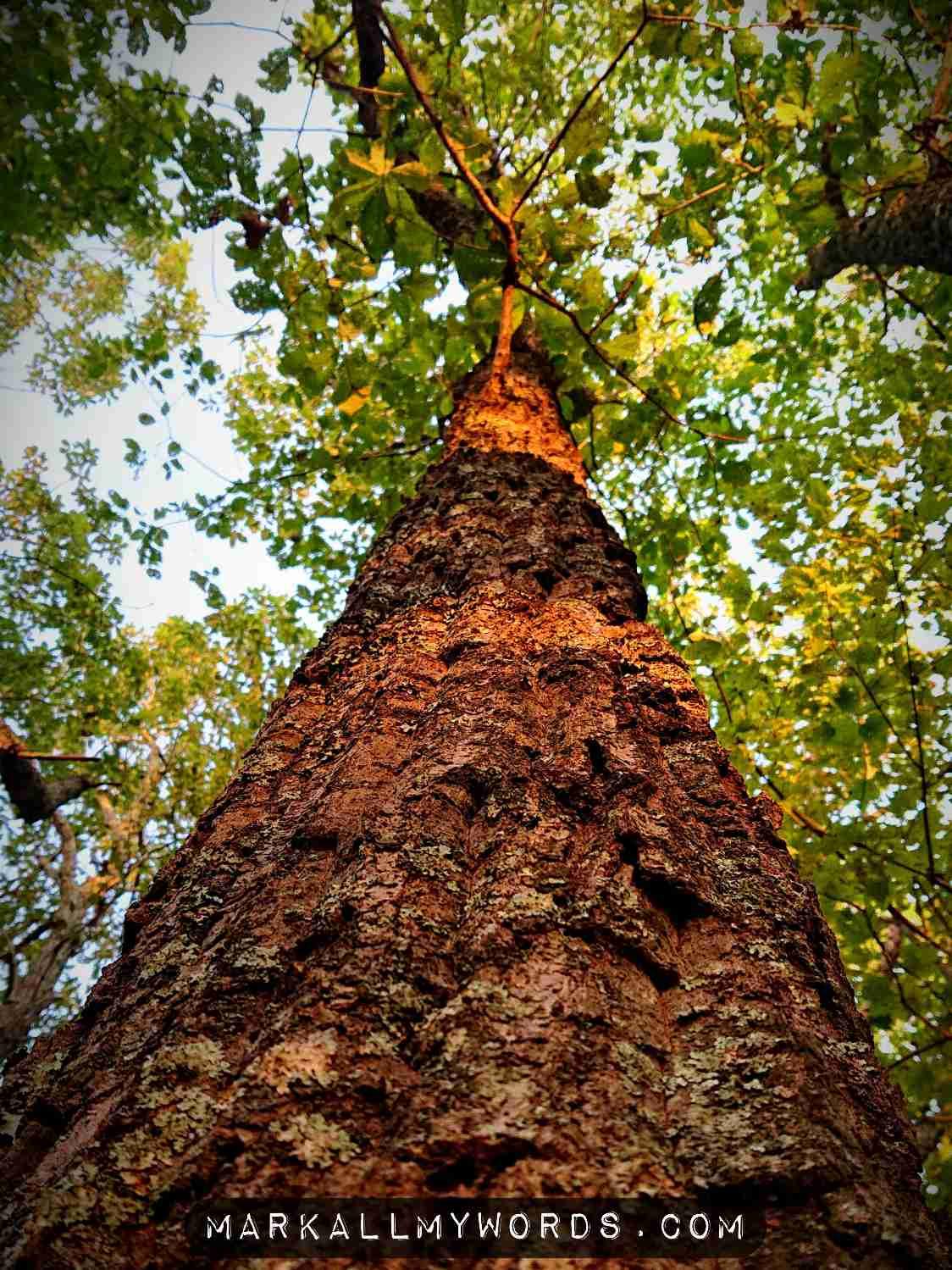 Chestnut Oak at Occoneechee Mountain