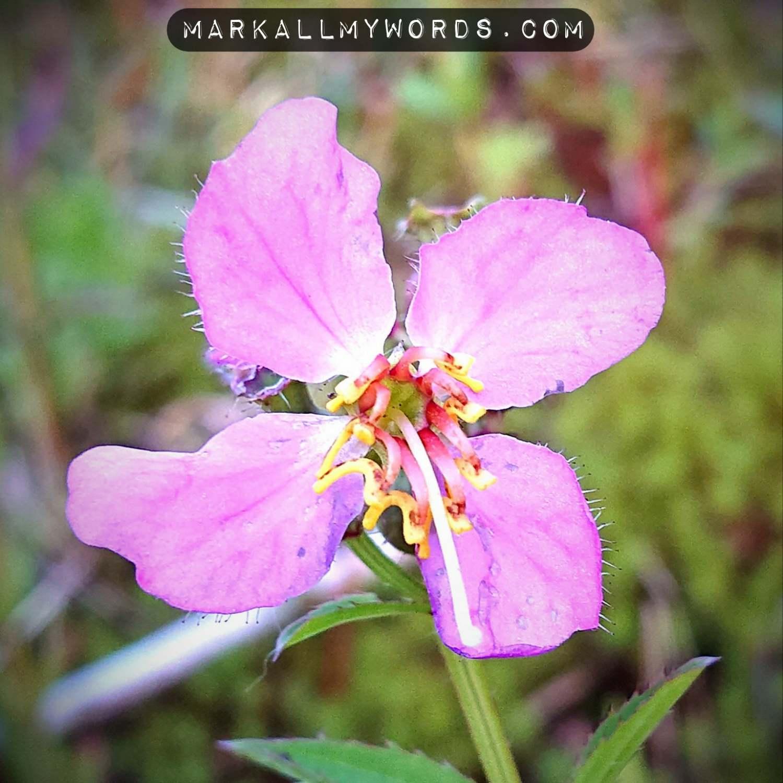 Pale meadow beauty flower