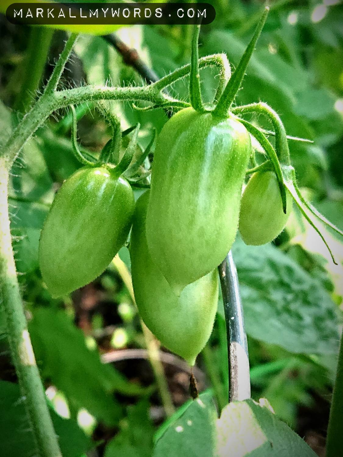 Unripe tomatoes in compost garden