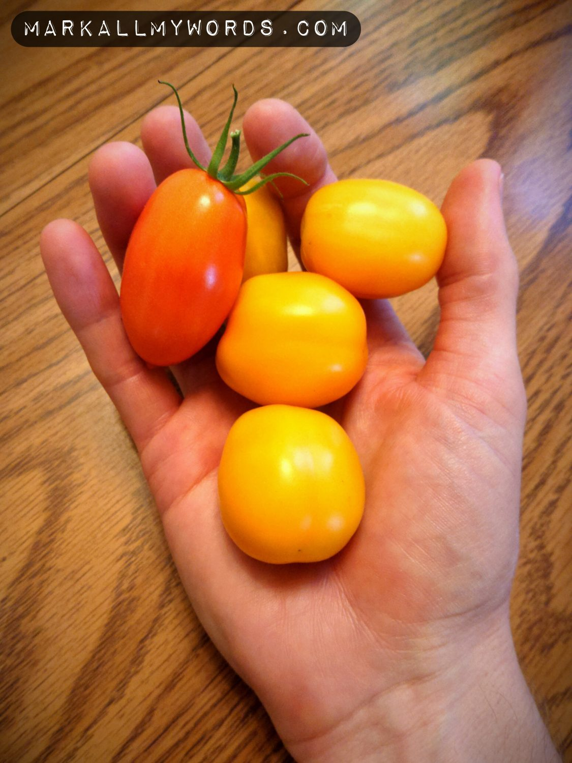 Homegrown yellow tomatoes in outstretched hand