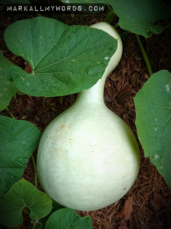 Ripe white cushaw squash in garden