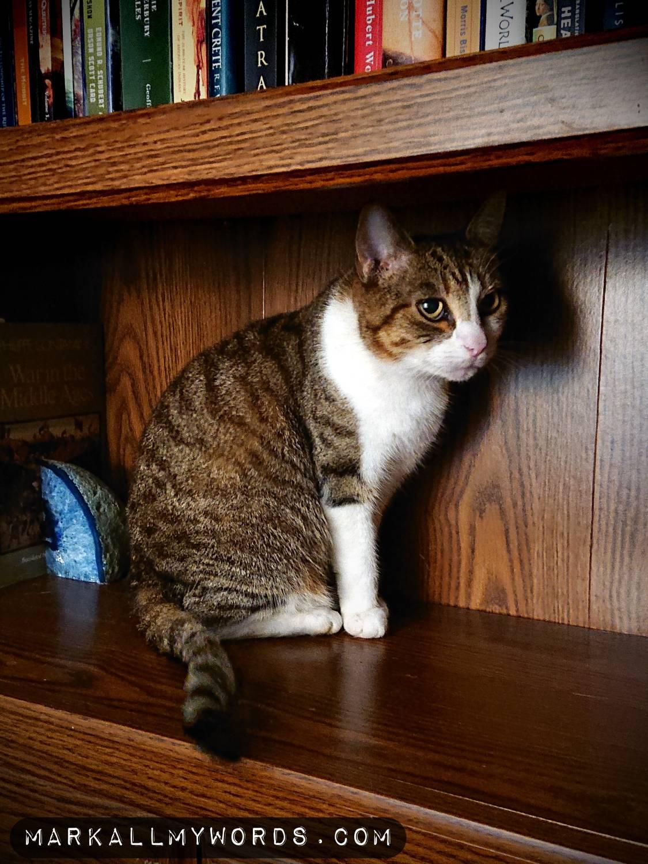 Cat in bookshelf