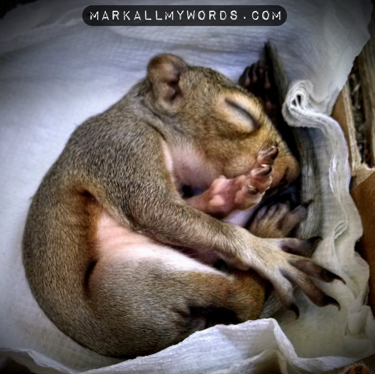 Baby squirrel sleeping and curled up in a ball