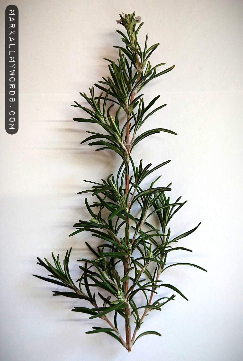 Cutting of rosemary