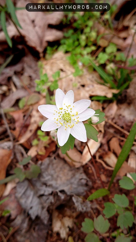 Rue anemone flower