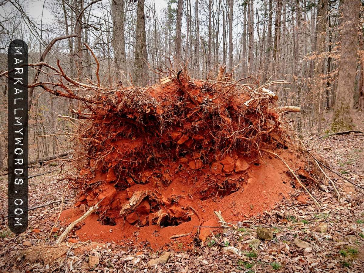 Rootball of white oak tree with red dirt