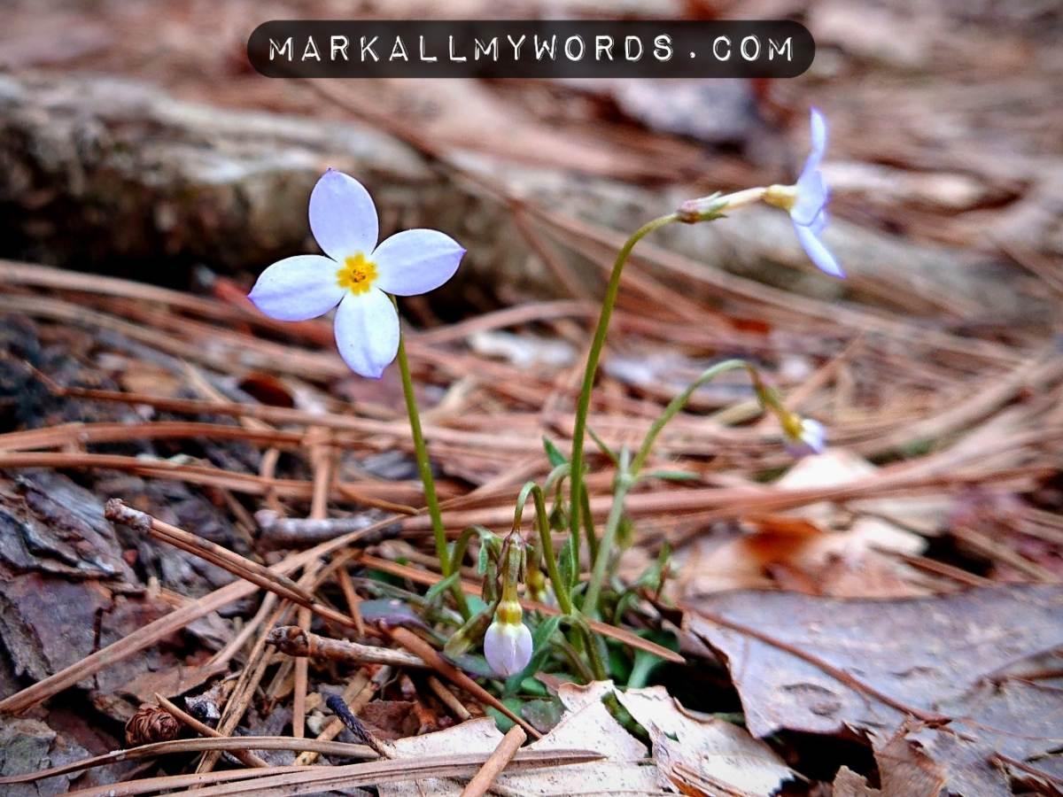 Bluet flowers