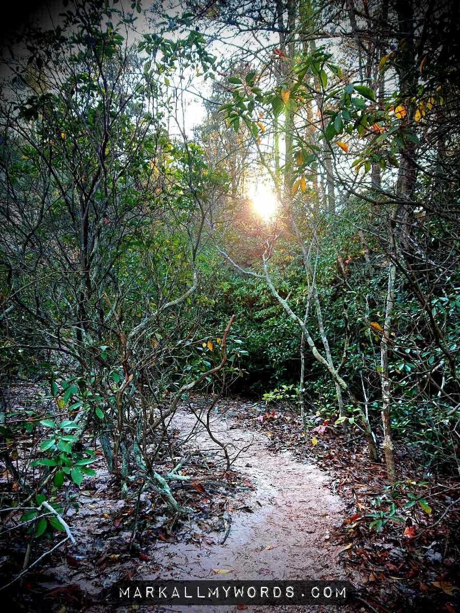Trail passing through grove of mountain laurel