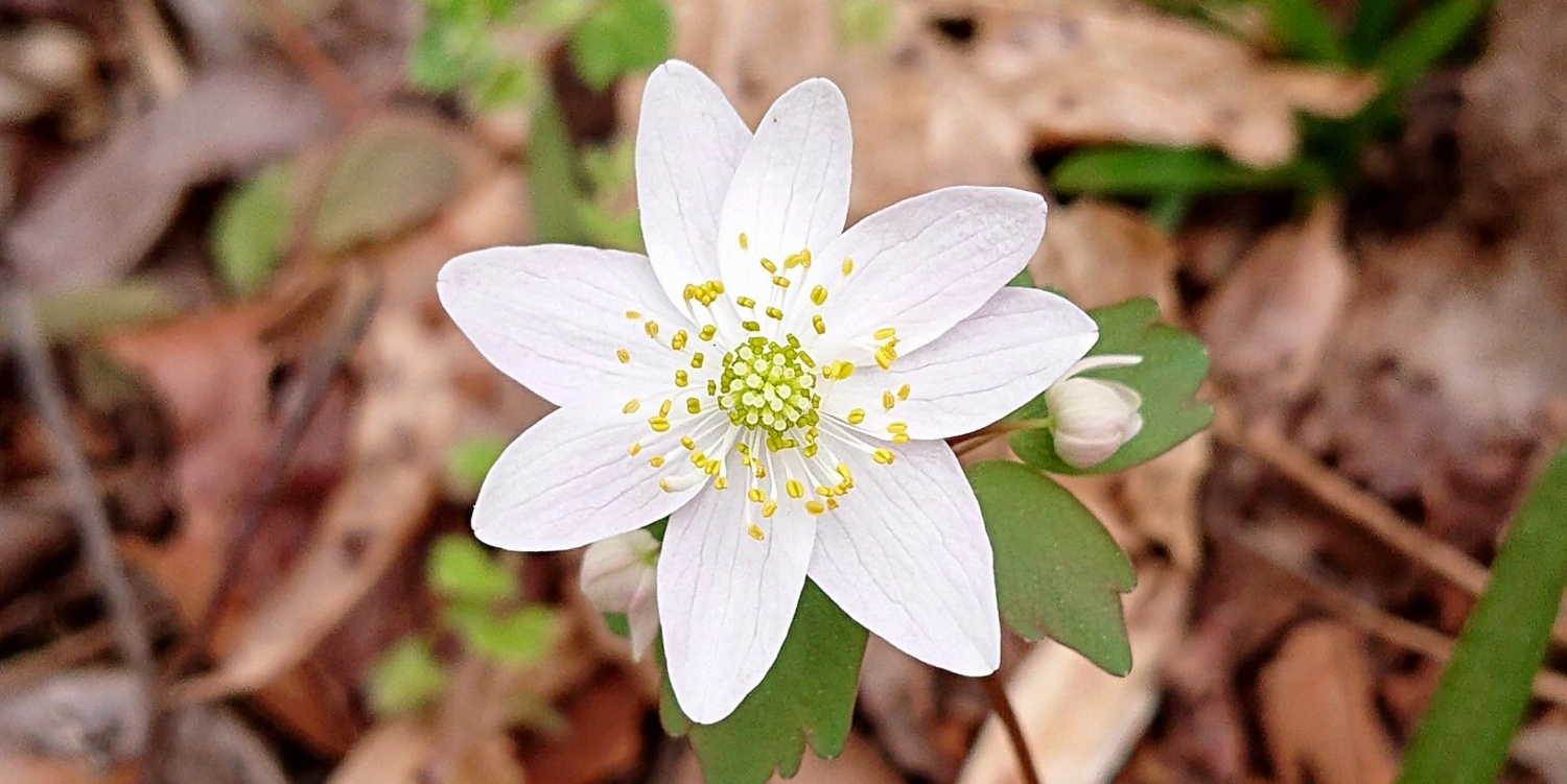 Rue anemone at Eno River State Park