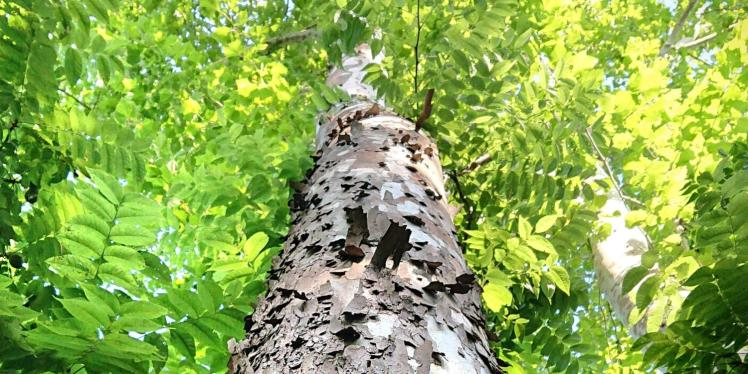 Looking up flaking bark of American sycamore tree