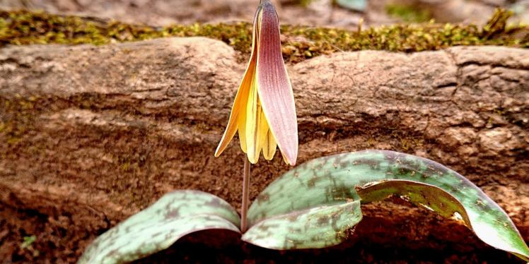 Yellow trout lily in bloom