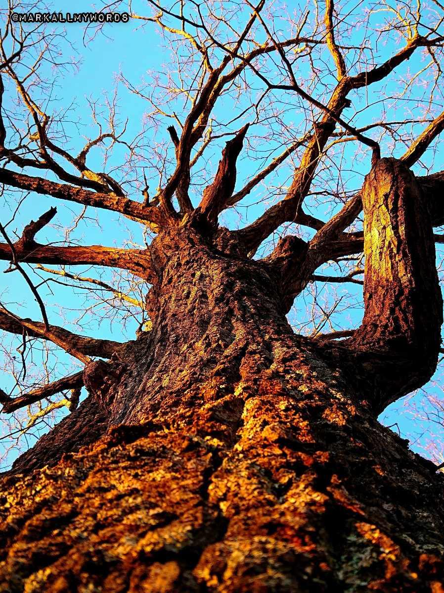 Upward view of chestnut oak tree